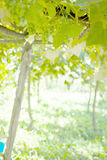 Grape canopy Royalty Free Stock Images