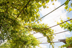 Grape canopy structure Stock Photography