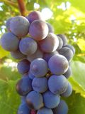 Grape close-up. Stock Image