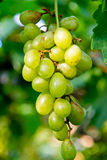 Grape. Closed up grape green with green leaves background royalty free stock images