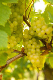 Grape closeup Royalty Free Stock Photos