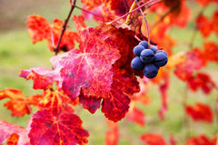 Grape closeup in autumn with red leaves Royalty Free Stock Photography