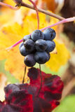 Grape closeup in autumn with red and yellow leaves Royalty Free Stock Images