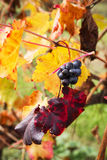 Grape closeup in autumn with red and yellow leaves Stock Photos