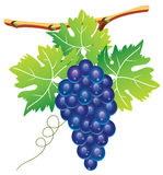 Grape cluster Stock Photos