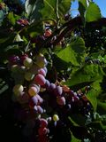Grape Cluster. Grapes sit on the Vine with morning sunlight Stock Image