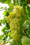 Grape cluster. Close up of a grape cluster Royalty Free Stock Images
