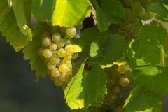 Grape cluster. Tasty vine grapes cluster Stock Photo