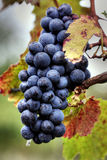 Grape cluster stock images