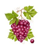 Grape cluster with green leaves and water drops. Royalty Free Stock Photo