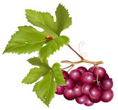 Grape cluster with green leaves, water drops and l Stock Images