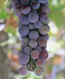 Grape. A cluster of green and purple grape stock image