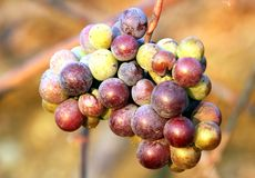 Grape. A cluster of green and purple grape royalty free stock photography