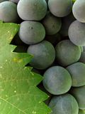 Grape cluster with leaf Royalty Free Stock Photography