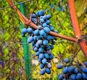 Grape cluster Stock Photo
