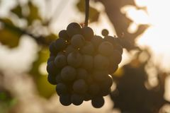 Grapes in the vineyard against the sunlight royalty free stock photography