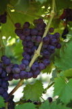 Grape Cluster On Vine. Ripe purple grapes twisting around a vine Royalty Free Stock Photos