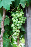 Grape cluster on a vine Royalty Free Stock Photography