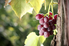 Grape cluster in vineyard Stock Image