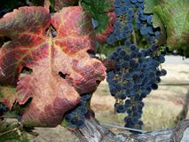 Grape cluster. In the vineyard Stock Photography