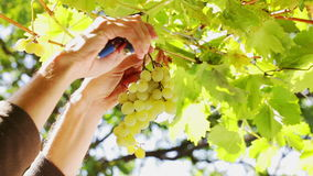 Grape cluster waving picked - closeup. HD 1080: White grape in a vineyard moving at slow wind being picked up by picker; close up stock video footage