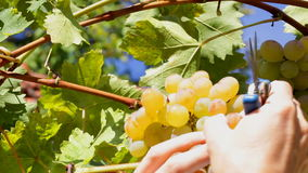 Grape cluster waving picked - closeup. HD 1080: White grape in a vineyard moving at slow wind being picked up by picker; close up stock footage