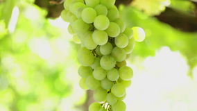 Grape cluster waving at slow wind, backlit stock video footage