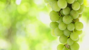 Grape cluster waving at slow wind, backlit. HD 1080: White grape in a vineyard moving at slow wind; close up stock footage