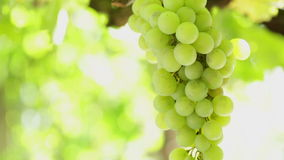 Grape cluster waving at slow wind, backlit. HD 1080: White grape in a vineyard moving at slow wind; close up stock video footage