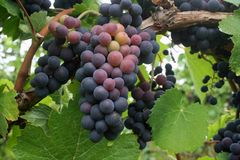 Grape Clusters Stock Photography