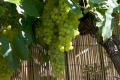 Grape clusters. Luscious grape clusters hanging from vine as large as a tree Stock Images