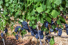 Grape clusters, growing red vine grapes Stock Photo