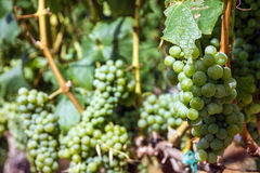 Grape clusters, growing white vine grapes, vineyard Royalty Free Stock Photo
