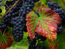 Grape clusters and leaves Stock Photos