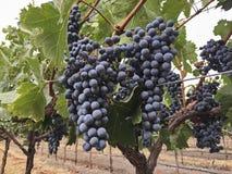 Grape Clusters In Napa Vineyard Stock Photos