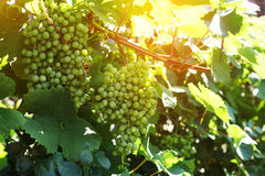 Grape clusters in summer Royalty Free Stock Photo