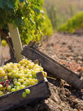 Grape crop Royalty Free Stock Photos