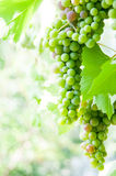 Grape crop Royalty Free Stock Photography