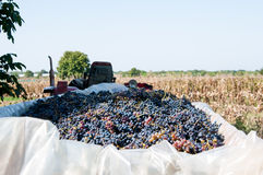 Grape crop Stock Image