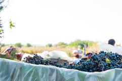 Grape crop in wagons Stock Images
