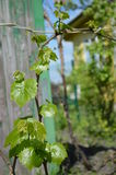 Grape cultivation, growing vine Royalty Free Stock Image