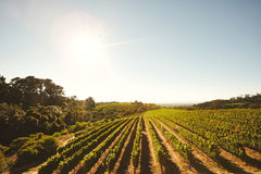 Grape cultivation for winery Royalty Free Stock Photography