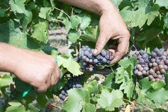 Grape cut in vineyards Stock Images