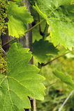 Grape leaves. Detail view of a  grape leaves in the spring sunny day Stock Photos