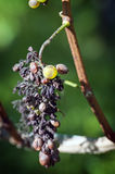 Grape disease. An Example of Peronospora, Grape disease Royalty Free Stock Image