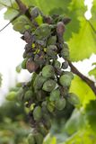 Grape disease. Bursting and unripe bunches of grapes on the vine Stock Photos
