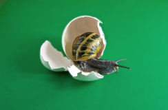 Snail in egg Royalty Free Stock Photo