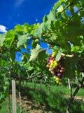 Grape Farm Stock Images