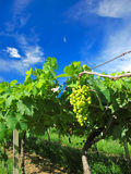 Grape Farm. In Rayong Thailand royalty free stock photography