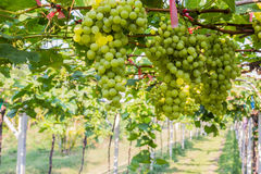 Grape farm,Fresh green vineyards ready to be harvested. Stock Image